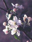 Apple Blossoms-sm