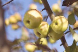apples photo credit - Tim Mossholder